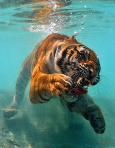 Swimming with Tigers, a 2nd chance on the Chautauqua, a financial article gets it wrong and I'm off to Prague