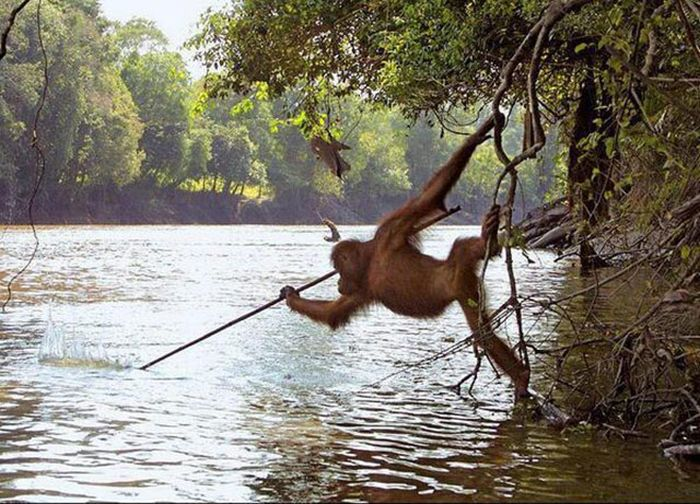 Orangutan spear fishing
