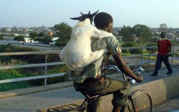 bike and goat