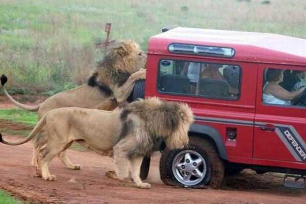 lions on car